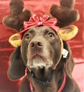 Pretty dog with reindeer ears for Christmas adoption at Kanawha Charleston Humane Association sponsored by West Law Firm