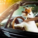 dog driving convertible demonstrating how to wear a seatbelt
