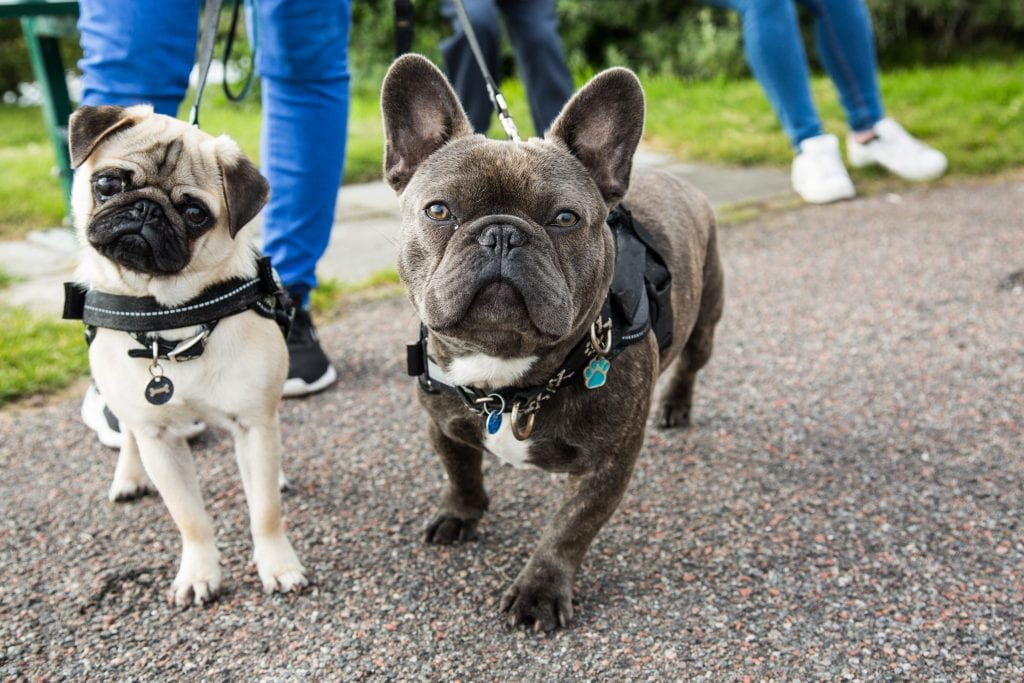 Owner and French bulldog following WV pedestrian laws while walking on road